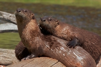River Otter(s) - (Lutra canadensis) - Wyoming