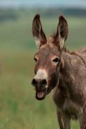Feral Burro - (Donkey) - Equus asinus (Equus africanus asinus) -