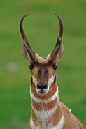 Pronghorn (Antelope) - Antilocapra americana - South Dakota