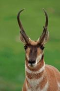 Pronghorn (Antelope) - Antilocapra americana - South Dakota