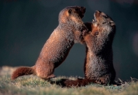 Yellow-bellied Marmots Fighting (Marmota flaviventris) - Colorad