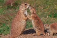 Blacktail Prairie Dog (Cynomys ludovicianus) - Wyoming - USA