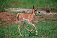 Pronghorn (Antelope) - Young -  Antilocapra americana - South Da