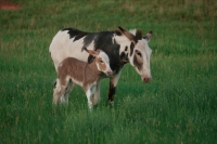 Feral Burros (Donkeys) Mother and Young  - South Dakota