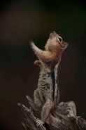 Golden-mantled ground squirrel - Spermophilus lateralis - Montan
