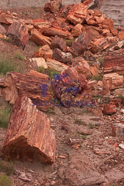 Petrified trees - Araucarioxylon arizonicum -  Petrified forest