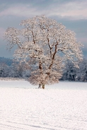 Winter scene - Snow on mature oak (Quercus) - Hereforeshire - UK