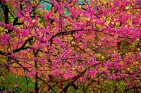 Redbud (Cercis canadensis) - New York - Posterized version