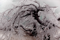 Ice-covered Tree near Niagara Falls - Canada