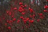 Common Winterberry Holly (Ilex verticillata) - New York