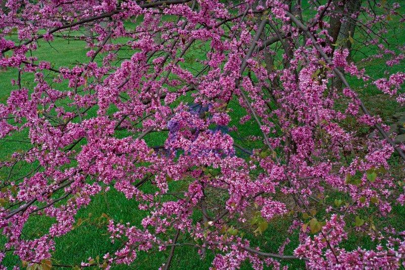 Redbud (Cercis canadensis) - New York