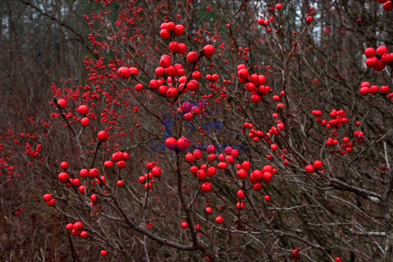 Common Winterberry Holly (Ilex verticillata) - New York