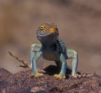 thumbs_collared-lizard-dlab