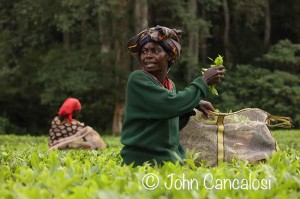 Tea picking, Kakamega forest, Kenya